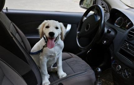 車に乗る白い犬